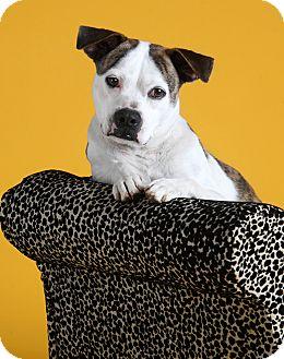 Boston Terrier Mix Dog for adoption in Dallas, Texas - Jazzy