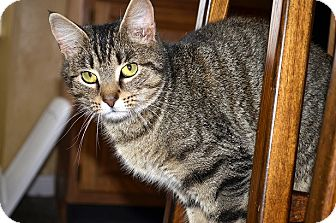 Domestic Shorthair Cat for adoption in Xenia, Ohio - Christine