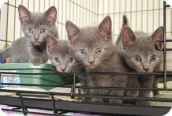 Russian Blue Kitten for adoption in Bensalem, Pennsylvania - Russian Blue Litter