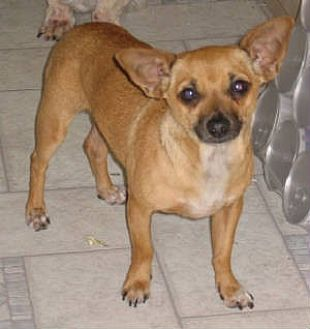 Chihuahua Mix Dog for adoption in Half Moon Bay, California - Jose