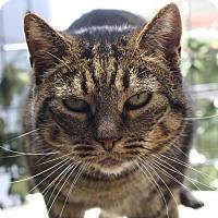 Adopt A Pet :: Chai - Los Angeles, CA