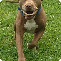 Adopt A Pet :: Sir Duke - Villa Park, IL