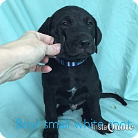 Adopt A Pet :: Whitman - Cumming, GA