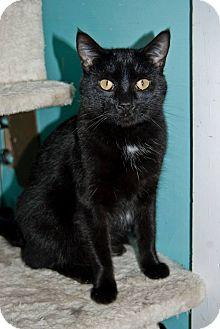 Domestic Shorthair Cat for adoption in Shelbyville, Kentucky - October