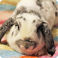 Adopt A Pet :: Amelia - Hillside, NJ
