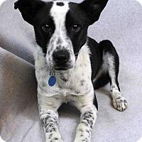 Adopt A Pet :: Sergio - Westminster, CO