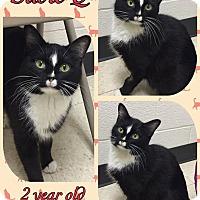 Domestic Shorthair Cat for adoption in Lexington, North Carolina - Susie Q
