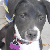 Adopt A Pet :: Cindy Lou - Englewood, CO