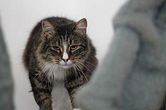 Domestic Longhair Cat for adoption in El Cajon, California - Chewbacca
