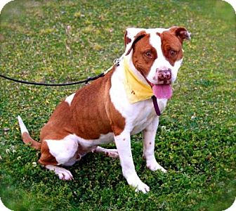 American Bulldog/Staffordshire Bull Terrier Mix Dog for adoption in Santa Monica, California - Melody