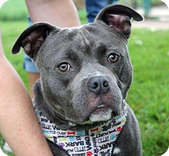 American Staffordshire Terrier/American Bulldog Mix Dog for adoption in Troy, Michigan - Detective Vince Magnotta