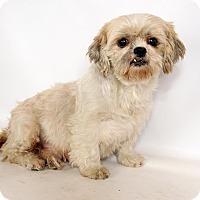 Adopt A Pet :: Roosom Shih Tzu - St. Louis, MO