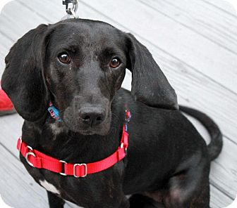 Labrador Retriever/Hound (Unknown Type) Mix Dog for adoption in Youngsville, North Carolina - Lucy