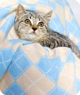 Domestic Shorthair Kitten for adoption in Gloucester, Virginia - LORETTA