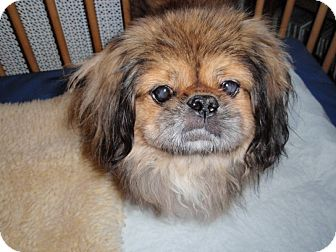 Pekingese Dog for adoption in Richmond, Virginia - Norton