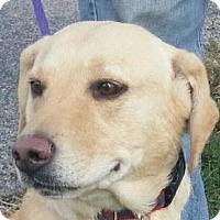 Labrador Retriever Mix Dog for adoption in Lexington, Kentucky - Annie