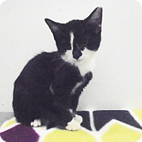 Domestic Shorthair Kitten for adoption in Springfield, Tennessee - Domino