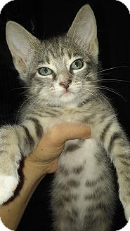 Domestic Shorthair Kitten for adoption in New Smyrna Beach, Florida - Mousy