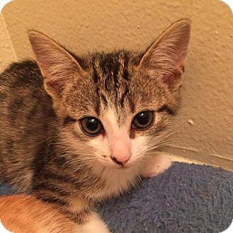 Domestic Shorthair Cat for adoption in Los Angeles, California - Bronwyn