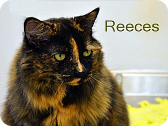 Domestic Mediumhair Cat for adoption in Hamilton, Montana - Reeces