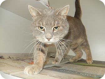 Domestic Shorthair Cat for adoption in Newport, North Carolina - Axel (Petsmart Morehead)
