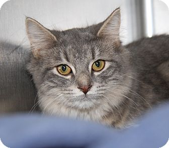 Domestic Shorthair Cat for adoption in Marietta, Ohio - Zoey (Spayed)