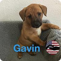 Adopt A Pet :: Gavin - Westminster, CO