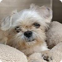 Shih Tzu Mix Dog for adoption in West Palm Beach, Florida - TOBY