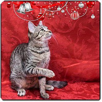Domestic Mediumhair Cat for adoption in Houston, Texas - Taco