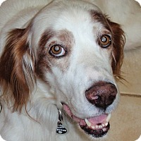 Adopt A Pet :: LANCELOT - Pine Grove, PA
