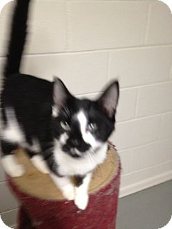 Domestic Shorthair Cat for adoption in Wenatchee, Washington - Freddy