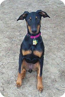 Doberman Pinscher Puppy for adoption in New Richmond, Ohio - Leddie--adopted!!