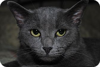 Russian Blue Cat for adoption in Waxhaw, North Carolina - Lexi