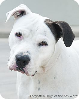 American Bulldog Mix Dog for adoption in Houston, Texas - Fernando