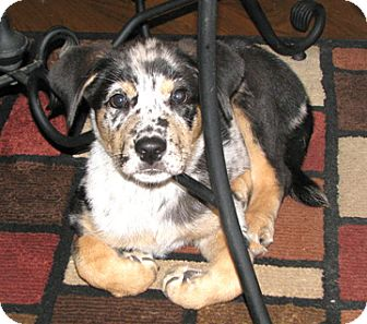 Australian Shepherd Mix Puppy for adoption in Richmond, Virginia - Dougie