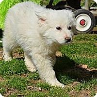 Adopt A Pet :: Penny - New Boston, NH
