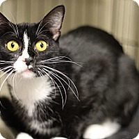 Domestic Shorthair Cat for adoption in Marietta, Georgia - Bette Davis