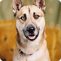 Adopt A Pet :: Brownie Blue - Portland, OR