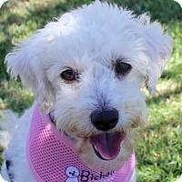 Adopt A Pet :: Vivi - La Costa, CA