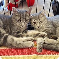 Adopt A Pet :: Figaro - Berkeley Hts, NJ