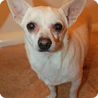 Chihuahua Mix Dog for adoption in Buckeye, Arizona - Waffle