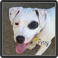 Adopt A Pet :: Petey -Special Needs! - Warren, MI