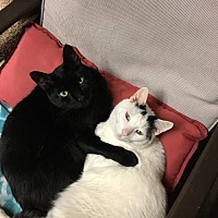Adopt A Pet :: Benjamin & Adorno - New City, NY