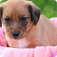 Adopt A Pet :: ROMEO(OUR TINY