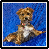 Adopt A Pet :: Carlie - San Dimas, CA