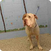 Adopt A Pet :: A495585 - San Bernardino, CA