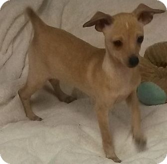 Chihuahua/Dachshund Mix Puppy for adoption in Leming, Texas - Peanut