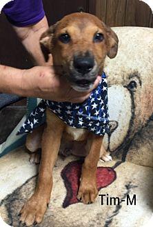Golden Retriever/Shepherd (Unknown Type) Mix Puppy for adoption in Hagerstown, Maryland - Tim