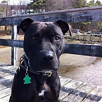 Pit Bull Terrier Mix Dog for adoption in kennebunkport, Maine - Bentley - Courtesy Post