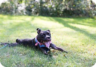 Pit Bull Terrier Mix Dog for adoption in North Scituate, Rhode Island - Feisty WITH VIDEO